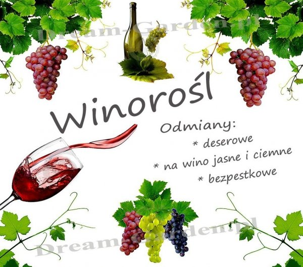 winorośl odmiany