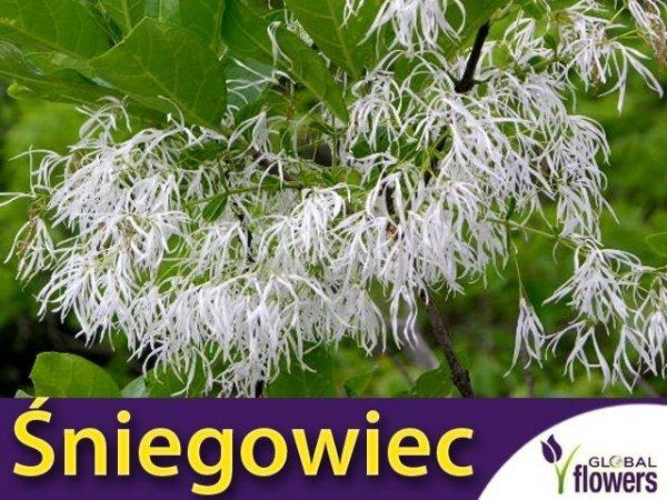 RARYTAS Śniegowiec wirginijski - śnieżne drzewo (Chionanthus virginicus) SADZONKA