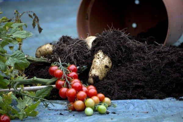 Pomidoro-ziemniak Sadzonka TomTato® uprawa