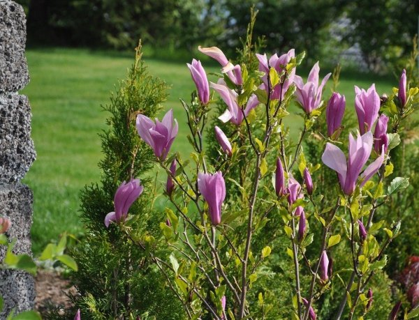 Sadzenie magnolii