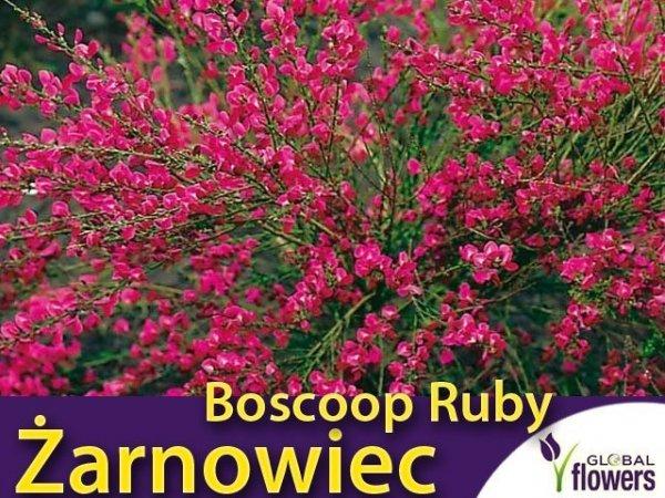 Żarnowiec 'Boskop Ruby' (Cytisus ) Sadzonka