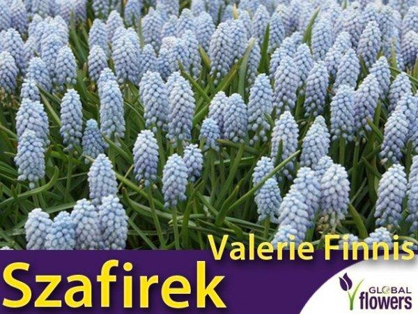 Szafirek armeński 'Valerie Finnis' (Muscari)