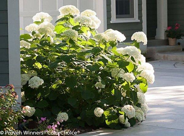 Hortensja drzewiasta 'Strong Annabelle ABETWO' (Hydrangea arborescens) Sadzonka XL- C5