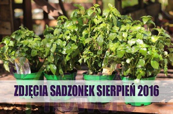 sadzonki Rungia zioło o grzybowym aromacie