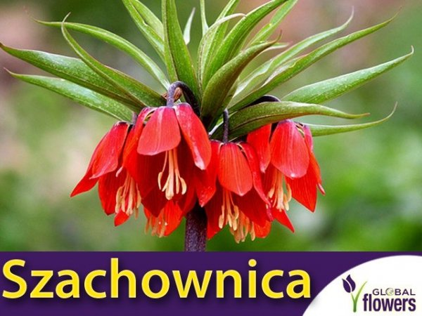 Szachownica cesarska 'Rubra' (Fritillaria imperialis)