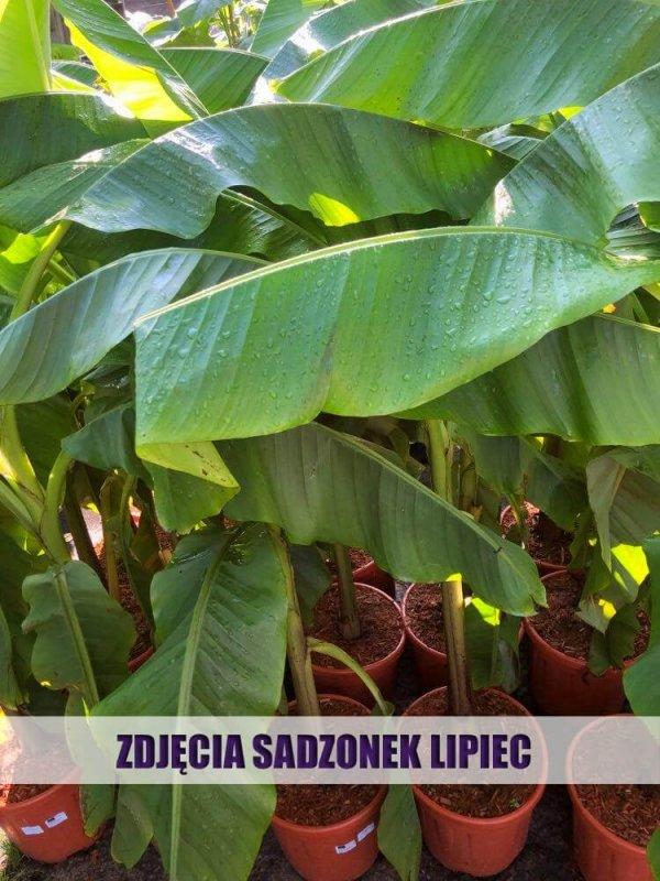 bananowiec jak dbać duże sadzonki