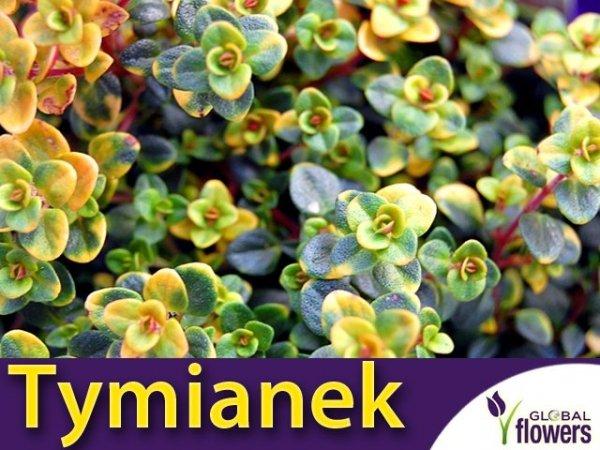 Tymianek cytrynowy trzykolorowy 'Doone Valley' (Thymus citriodorus) Sadzonka