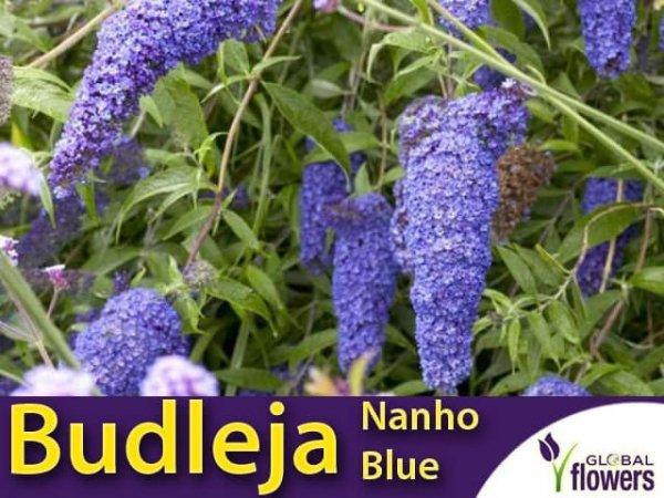 budleja niebieska sadzonki