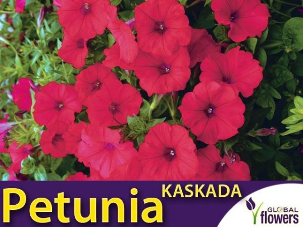 Petunia ogrodowa Kaskada czerwono - purpurowa (Petunia x hybrida pendula)