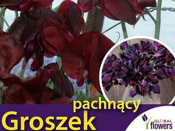 Groszek pachnący, Beaujolais - bordowy (Lathyrus odoratus) 5 g LUX