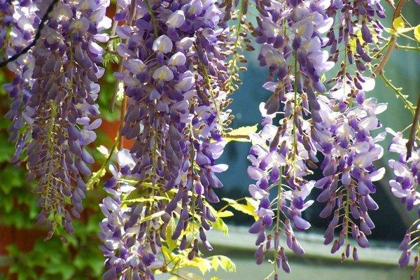 wisteria sadzonka