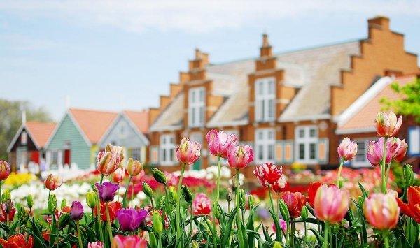 tulipan jak róża, cebulki tulipanów pełnych