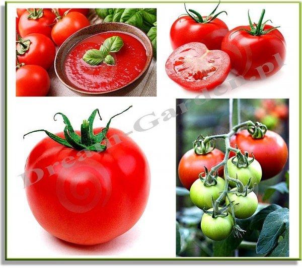 Pomidor Apis odporny na suszę