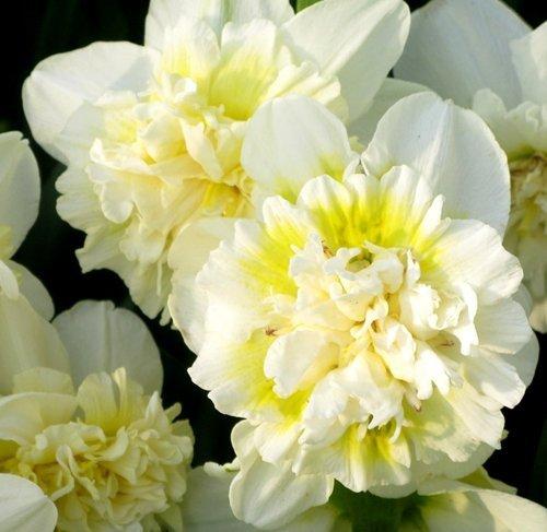 biały narcyz z żółtym środkiem