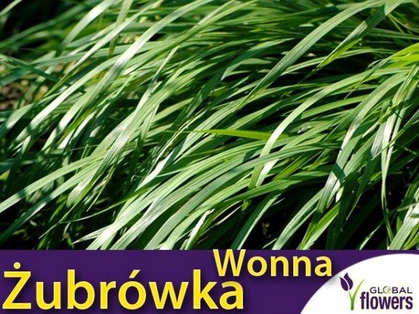 Trawa Żubrówka Turówka Wonna (Hierochloe odorata) Sadzonka