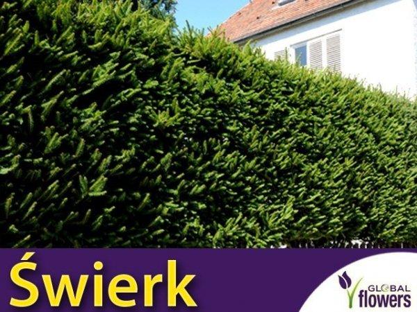 Świerk pospolity Na żywopłot (Picea abies) Sadzonka doniczkowana