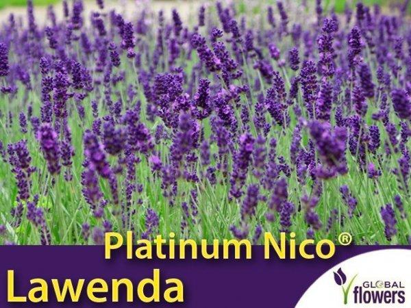 Lawenda 'Platinum Nico®' (Lavandula Pure Platinum 'Nico') Sadzonka