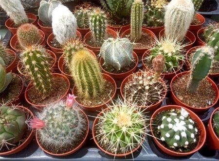 Kaktusy MIX 5 sztuk (Cactaceae) Roślina domowa. Sadzonka P5,5 - S