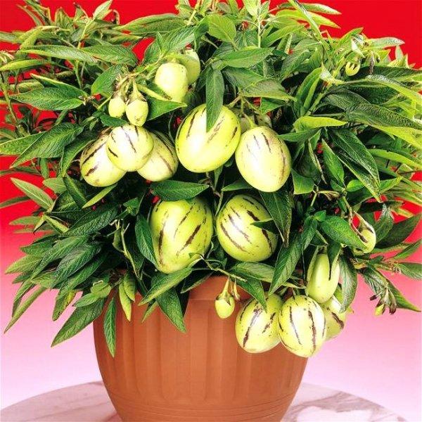 Pepino Melon (Solanum muricatum) 0,01g