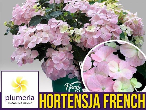 Hortensja FRENCH BOLERO ROSE sadzonka