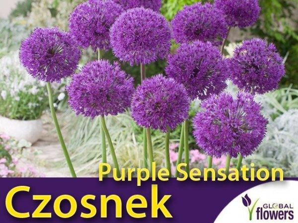 Czosnek Purple Sensation (Allium Purple sensation)
