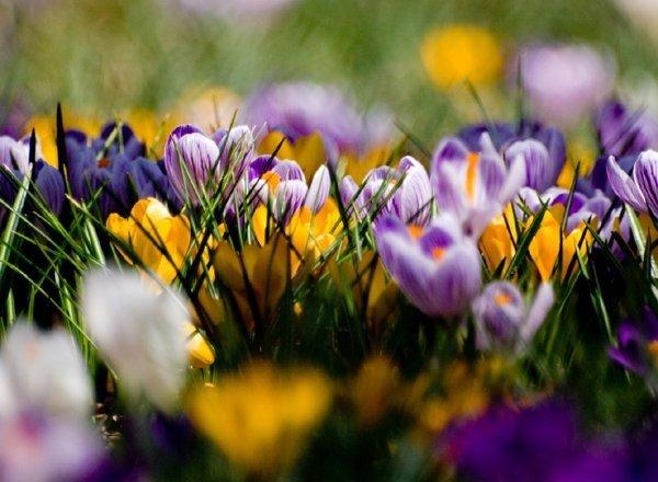 Niebiesko-fioletowe krokusy
