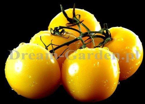 Pomidor do uprawy amatorskiej