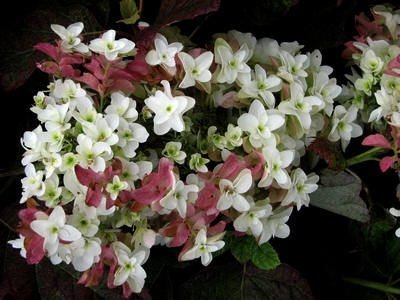 Hortensja dębolistna 'Burgundy' odmiany, piękne liście