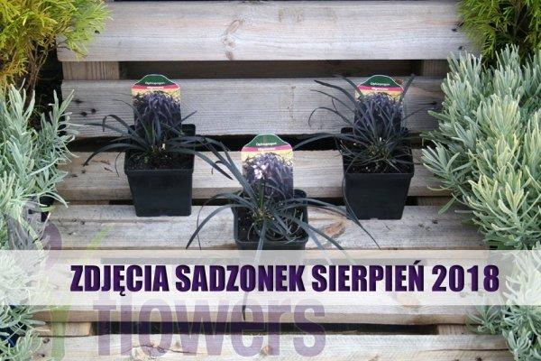 czarna trawa sadzonka cena
