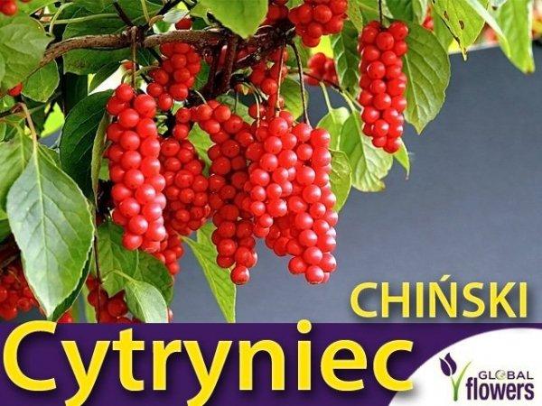 Cytryniec Chiński WU WEI ZI (Schisandra chinensis) Sadzonka