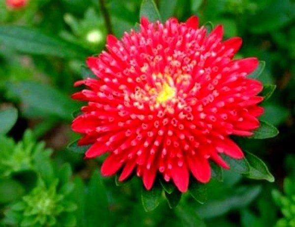 Piękny czerwony aster chiński