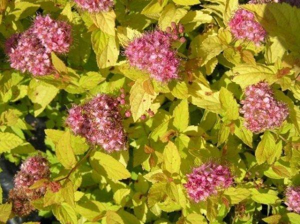 Spiraea japonica odmiany