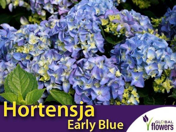 Hortensja ogrodowa 'Early Blue' niebieska (Hydrangea macrophylla) Sadzonka