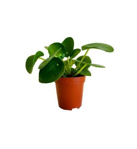 PIENIĄŻEK (Pilea peperomioides) Roślina domowa. Sadzonka P11 - M