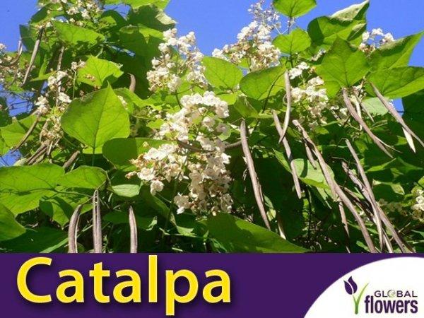Surmia - Storczykowe drzewo (Catalpa bignonioides) Sadzonka