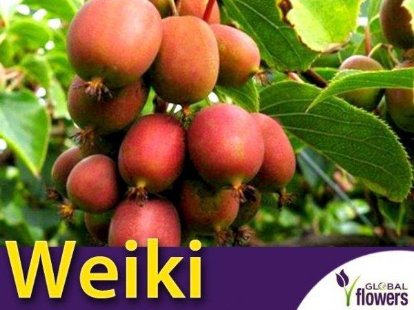 Aktinidia ostrolistna Sadzonka Kiwi Weiki - odmiana żeńska
