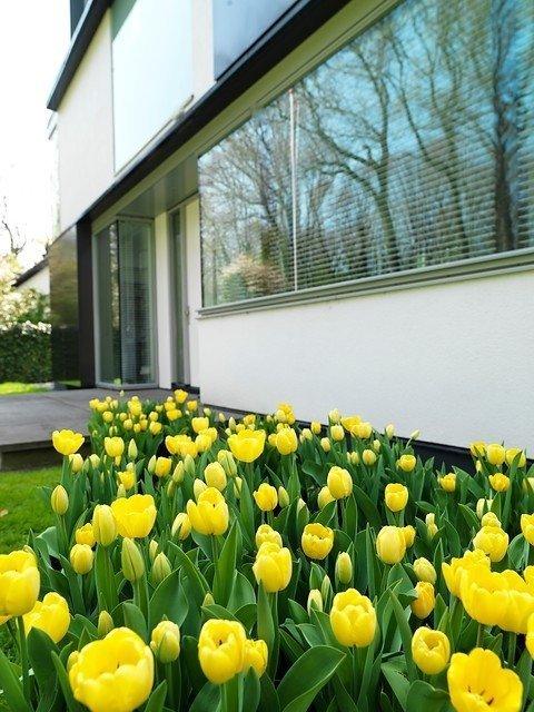 cebulki żótego tulipana