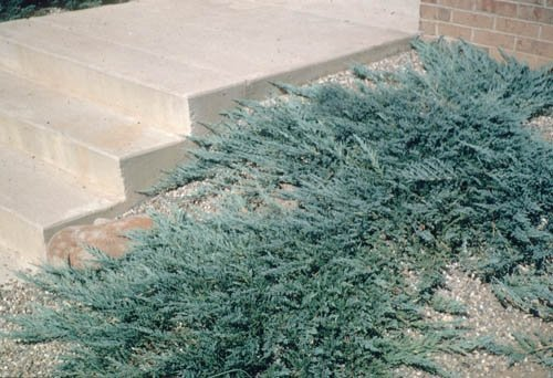 Juniperus horizontalis uprawa