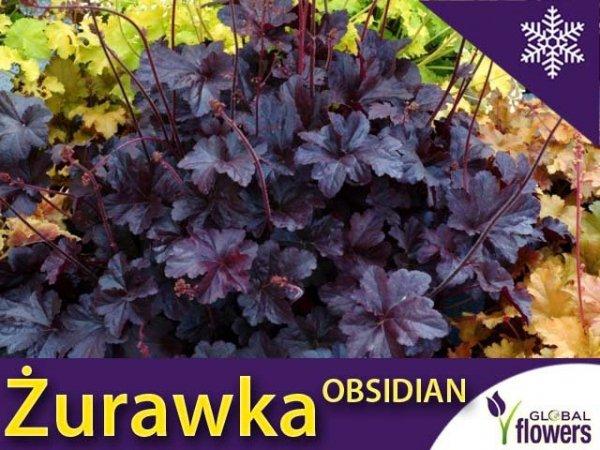 Żurawka 'Obsidian' (Heuchera) Sadzonka