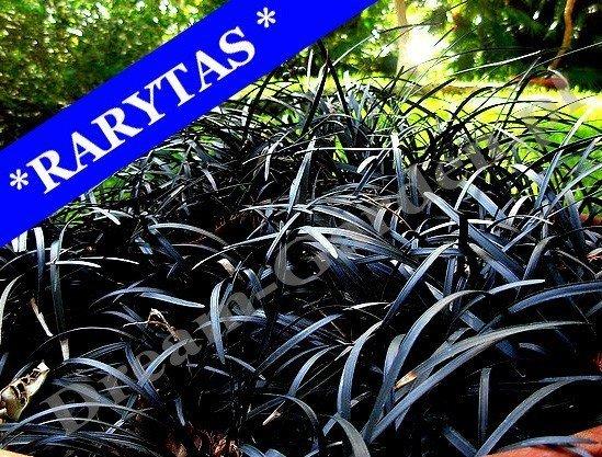czarna trawa niger warunki uprawy