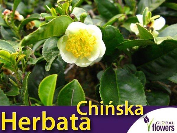 Herbata chińska