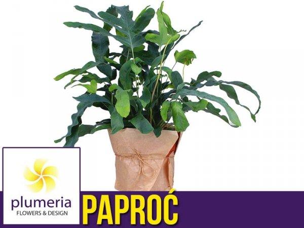 Paproć BLUE STAR (Phlebodium) Roślina domowa. Sadzonka P12 - M