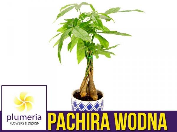 pachira wodna roślina domowa sklep online uprawa