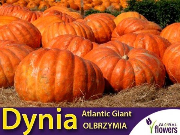 Dynia olbrzymia - Atlantic Giant (Cucurbita maxima) 3g