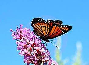 Nasiona motyli krzew
