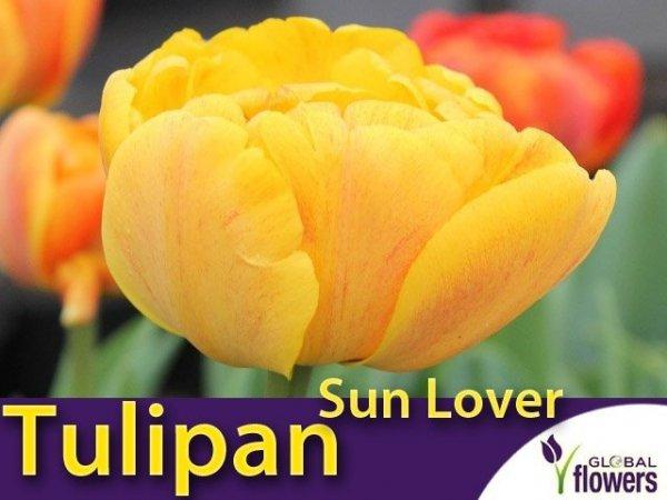 Tulipan Pełny 'Sun Lover' (Tulipa Sun Lover) CEBULKI