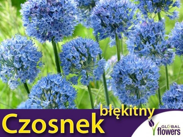 Czosnek błękitny (Allium caeruleum)