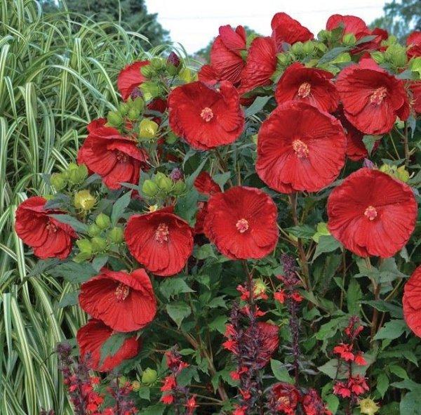 Hibiskus bagienny kwiaty XXL