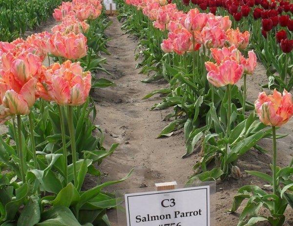 Piękne tulipany Salomon Parrot