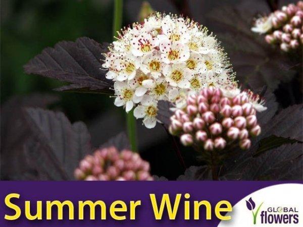 Pęcherznica kalinolistna 'Summer Wine' (Physocarpus opulifolius) Sadzonka